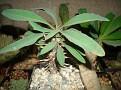 Euphorbia rossii