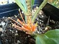 Scadoxus multiflorus ssp  katharinae