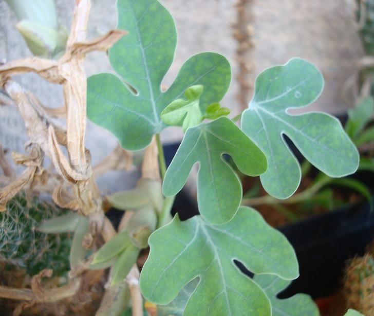 Adenia spinosa