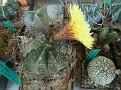 Astrophytum senile x capricorne