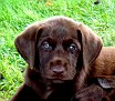 chocolate lab pup abbey litter