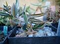 Euphorbia decaryi x cylindrifolia ssp tuberifera