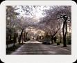 Street with cherry blossom umbrellas