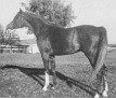 AAHAF #7134 (Aaraf x Aarah, by Ghadaf) 1951-1970 chestnut gelding bred by Ben Hur Farms/ Henry & Blanche Tormohlen; sired 15 registered purebreds