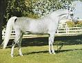 NABORRS JOY #79894 (*Naborr x Sura Joy, by Sureyn) 1972-1990 grey mare bred by Wayne Newton; produced 8 registered purebreds