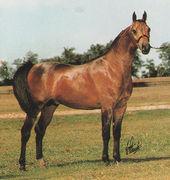 ARMAGNAC #260884 (*Aladdinn x Grenedyne, by *Bask++) 1982 bay stallion bred by Lasma Arabians; exported to Brazil 1992