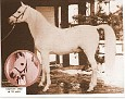 NAHARIN #1983 (Gulastra x *Rimini, by Skowronek) 1941-1966 grey stallion bred by Travelers Rest/ Gen JM Dickinson; sired 102 registered purebreds