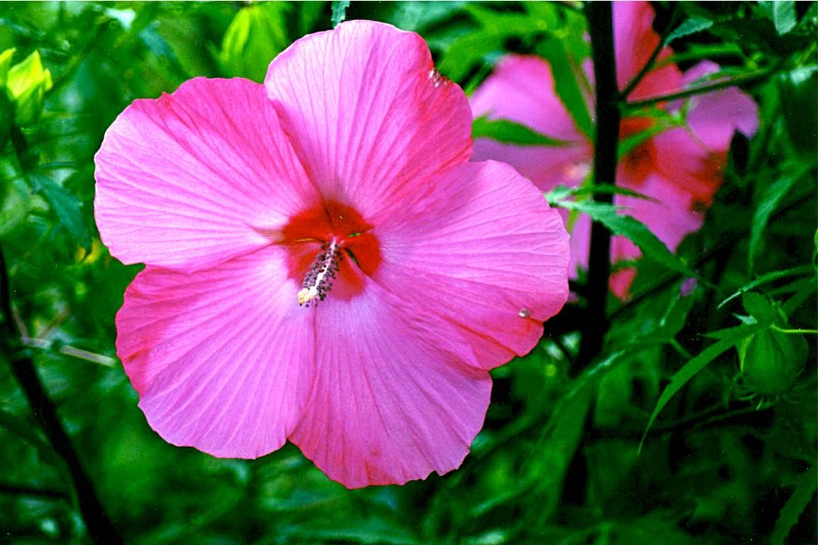 hibiscus 8 04 02 -2