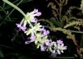 lavender IMGP4182