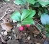 teaberry IMGP5915
