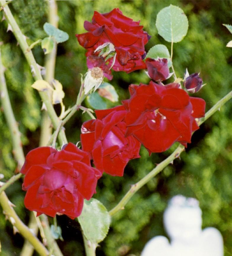 rose don juan 6 13b
