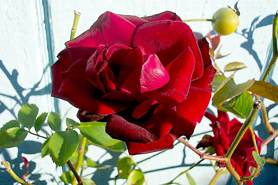 rose crimson glory 10 05 03 -2b