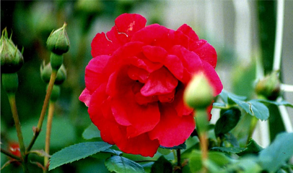 rose antique unknown 5 21 02-7b