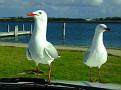 Bonnet Seagull 002