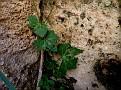 Bryonia cretica (1)