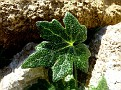 Bryonia cretica (5)