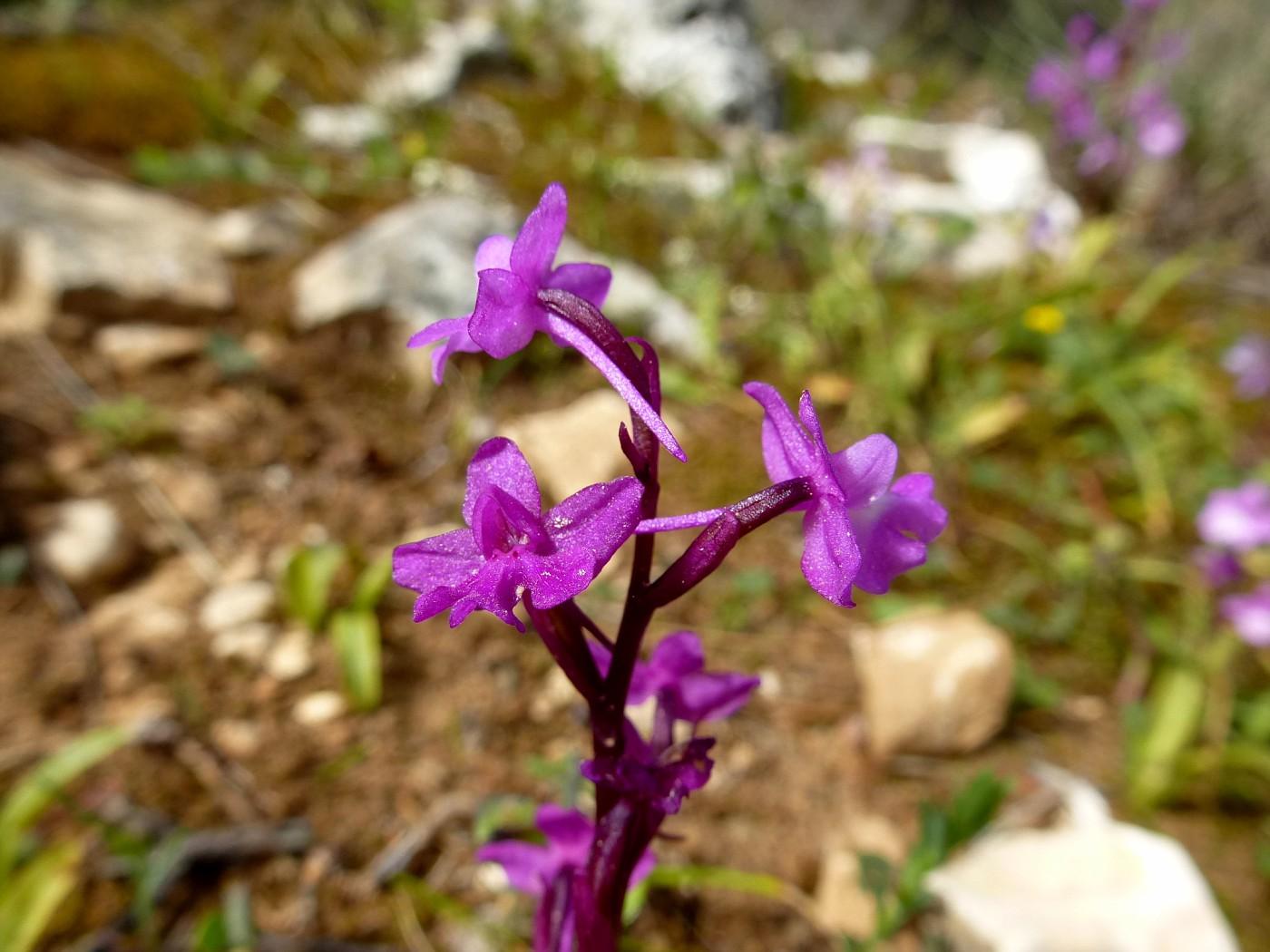 Orchis quadripunctata (4)