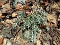 Euphorbia veneris   (13)
