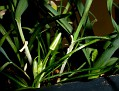 Ornithogalum pedicellare , Ποταμός Λιοπετρίου (2)