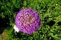 Allium giganteum (2)