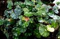 Begonia hydrocotylifolia (1)