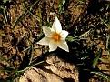 Crocus biflorus subsp  melantherus (11)