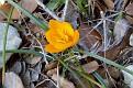 crocus olivieri  (1)