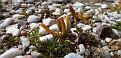 Mesembryanthemum nodiflorum, Ακρόπολη Αθηνών (34)