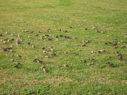 Field of Mars, Saint Petersburg - A flock of sparrows!