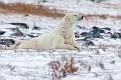 polar bear 7194