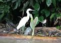 An egret and a sandpiper