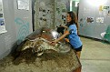 Volunteer at the Sea Turtle Conservancy Museum