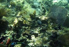 Bluehead wrasse (bottom left)