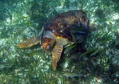 All kinds of fishes love being around turtles!
