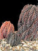 Haworthia reinwardtii Tharfield at the Mgwalanriver..JPG