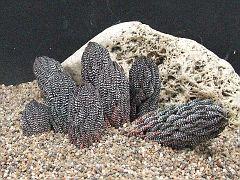 Haworthia reinwardtii Paynes Hill CG1850. 14-5-2009 17-52-47.JPG