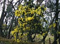 Wattle on the Old Western Road