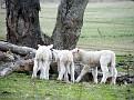 Lambs playing on Yarras Lane Bathurst 007