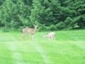 deer 010