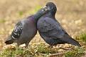 2 pigeons.