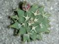 Mammillaria peninsularis - Cabo San Lucas, BCS