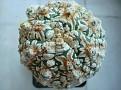 Astrophytum cv  Super kabuto snow