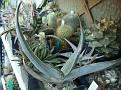 Aloe striata ssp  karasbergensis