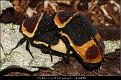 Pachnoda marginata peregrina - Rosenbille