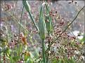 DSCN1536 Allium og Heuchera 05 08 12