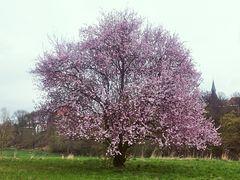 Kirschblüte am Gut Blomberg