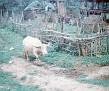 A Yard's Ox