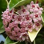 H. carnosa variegata