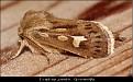 Cerapteryx graminis - Gressmarkfly