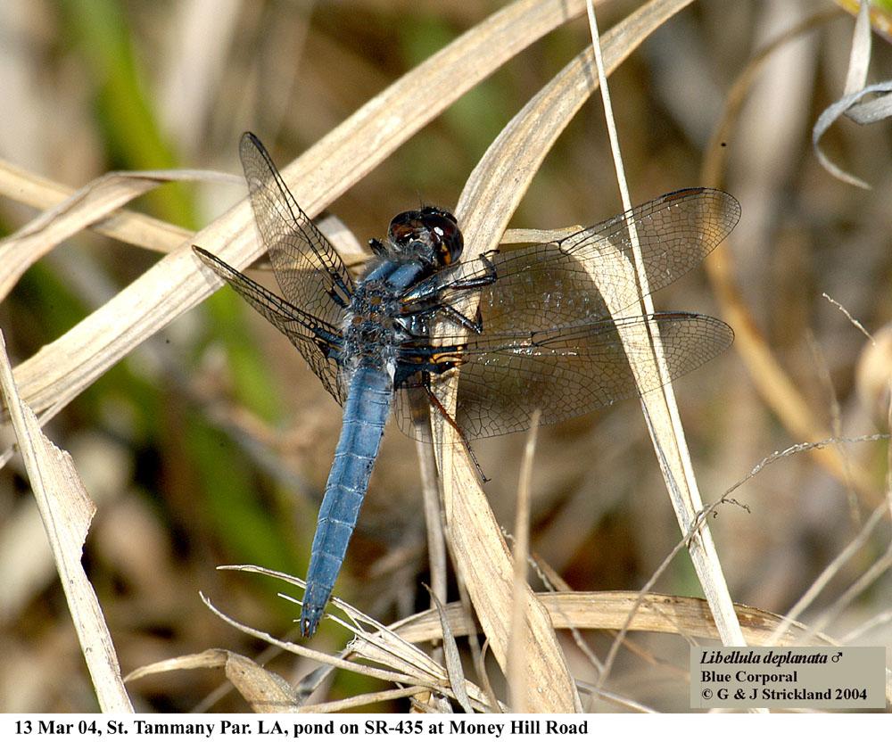 L. deplanata (Blue Corporal)